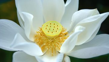 500px Photo ID: 106222329 - white lotus flower seen in ThailandThank you for liking, commenting and adding to faves!